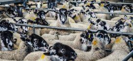 ovce ishrana ovaca ovca zahtev za vodom bolesti ovaca paraziti kod ovaca