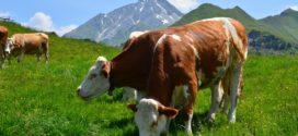 trave izvor savetovanje sremska svetlost uticaj ishrana krava ispaša U austriji farma organsko stočarstvo pašnjaci goveda nemaju