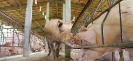 kuga svinja svinje smeštaj svinja kuga svinja u srbiji sočna hraniva