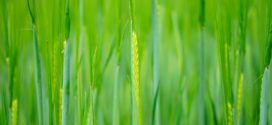 sumpor kaljenje azot pšenica sejalica bolesti pšenice vaši u pšenici količina n đubriva lema vlatanje pšenice pšenica tokom koliko azota seme sa tavana