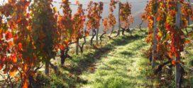 vinograd rezidba rekonstrukcija jesenje đubrenje bolesti vinove loze crvena palež