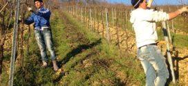 orezivanje vinove loze rezidba formiranje
