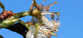 šljivina osa šljiva plamenjača rogač šljive bolest šarke šljive cvetanje šljive