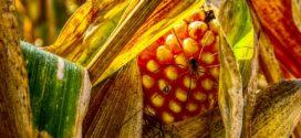 kukuruz sušenje kukuruzna zlatica balans kukuruz otkup etanol kukuruz zahtevi cena bez promene prinos kukuruza