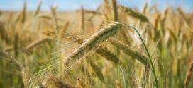 polegla pšenica dan polja delta kvalitet pšenice