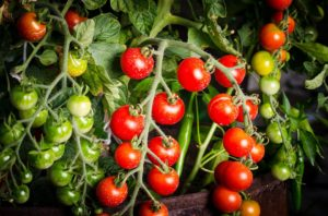 zalivanje paradajza paradajz djubrenje tuta absoluta paradajz izbor paradajz kao potrebe za vodom