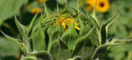 setva suncokreta suncokret kultiviranje suncokret zaštita suncokret medna suncokret bela trulež