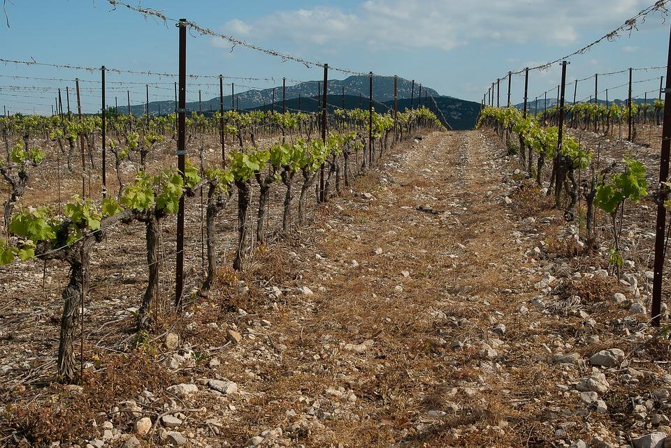 Podloga kober 5bb sadnja vinove pegavost lozne podloge rojatska kordunica vinograd podizanje đubrenje vinograda vinograd zemljište