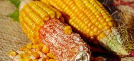 otkup kukuruza tržište kukuruz oplodnja koliki ambar za kukuruz zrna spremite kukuruz