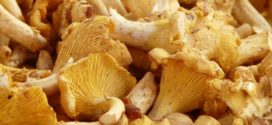 lisicarka gljive