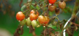 crna pegavost stenica nezera virusi u bolesti povrća grinje virusi na paradajzu