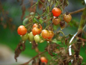 virus paradajza crna pegavost stenica nezera virusi u bolesti povrća grinje virusi na paradajzu