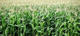 kukuruz faza cvetanja kukuruz sa pasuljem