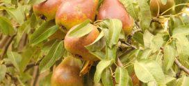 tolerancija na stres gusta sadnja kruska hloroza nerodnost podloge za krušku kruškina buva oplodnja voćaka