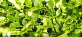 borovnica je hit borovnica kopaonik borovnica organska rezidba borovnice