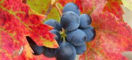 defolijacija vinove loza mikrobioloska bojadiser sorta PEPELJASTI GROŽDJANI POSEBNE sorte