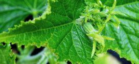 grinje oprašivanje biljaka krastavac , bolesti krastavac plamenjača zaštita paradajza