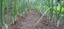 biljke štite srebrnjak luk trips luk plamenjača bolesti luka korovi u luku