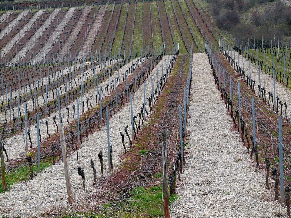 sadnja loznih kalemova vinograd vinova loza rezidba mraz u vinogradu