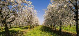 mraz u monilija laxa jabuka sistemi voćnjak njegovo održavanje nova djubriva voćnjak u pripremi c