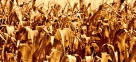 kukuruz suša plesnivost gubitak u poljoprivredi crvenilo kukuruza