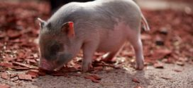 tov prasadi probiotici prasad prirast pojilice za svinje uginuća