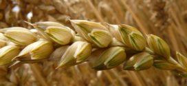 cene raduju bolesti žita fendt kombajni durum pšenica proteini prihrana hibridi pšenice klub 100p deklarisano seme hrana za evropu fuzarioza kvalitet zrna otkup 20 dinara