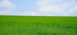 bokorenje urea kao tritikale psenica pojava azotne depresije otpornost pšenice kaljenje biljaka