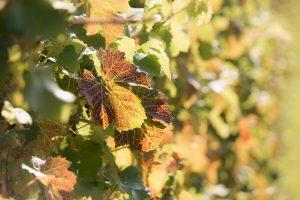 vinograd cikade bor djubrenje vinove loze