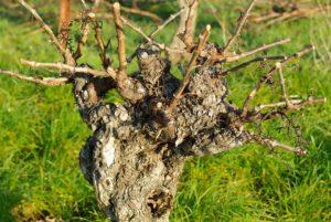 gljive vinograd mirovanja rezidba vinove loze crne pegavosti