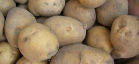 krompir silaža semenski krompir temperatura prašna krastavost