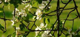 kruska monilia prekalemljivanje povijanje grana