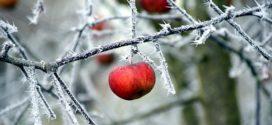 zima voćnjaci zimski pregled zimsko mirovanje stare sorte