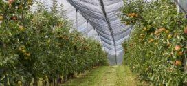 konkurs investicije rezidba korena podsecanje korena gusta sadnja jabuka voli rezidbu