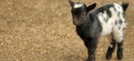 nega jaradi probiotici jarad koze kozarstvo