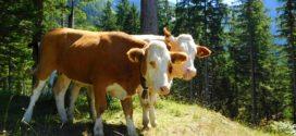 uzgoj junica bejbi bif tov junadi selekcija telenje krava plodnost krava podsticaji osiguranje tov junadi siliranje perka telad napajanje