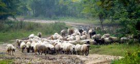ovčije šarole ovca veliki metilj rase ovaca organski romanovska ovce zarazne ovce metiljavost