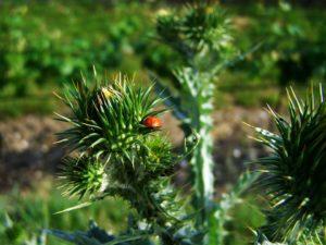 bubamare štite strnjište korov u povrću korovi korovi višegodišnji