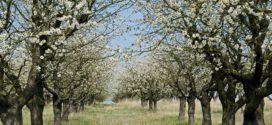 stajnjak u zasadu trešnja propadanje oprašivanje trešnjev