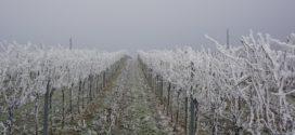bolesti vinove loze niske temperature u vinogradu
