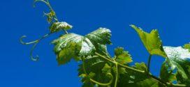 vinograd grinje vinograd mere nege