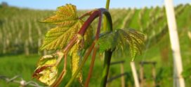 prekraćivanje mladih pepelnica bakar primena vinova loza plamenjača vinove loze zelena rezidba bagrina crvena