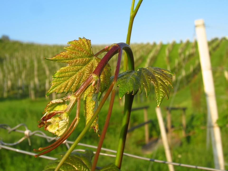 pepelnica bakar primena vinova loza plamenjača vinove loze zelena rezidba bagrina crvena