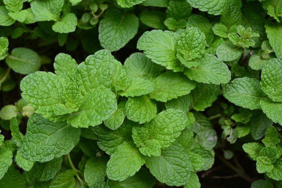 menta nana je lekovita lekovito aromatično pitoma nana