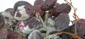 pepeljasti botritis siva trulež led u vinogradu