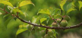 Sortimentski zasadi plodova aminokiseline su kajsija letnja