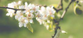 kruškina osa cvet vilijamovka - kruškina buva