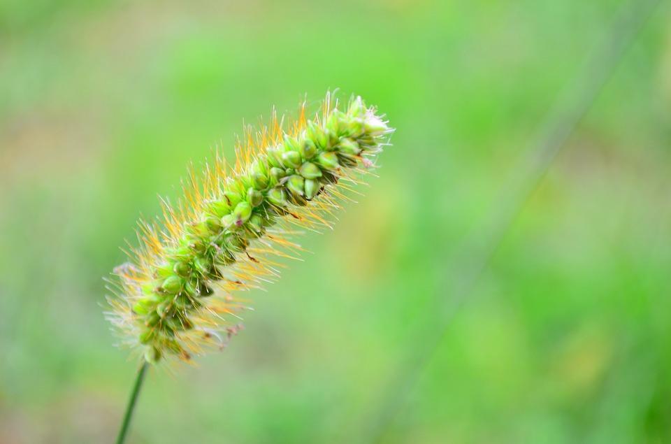 fuzarioze pšenice proizvodnja semenskog pšenica faze