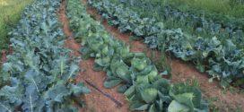 povrće kalijum cvetni pojaskupus bela zeolit rešava agrotekstil biološka zaštita organska povrće zimsko oranje integralna zaštita