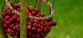 trešnje izbor sorti trešnjina muva